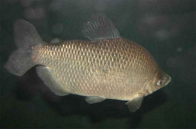 Cyprinidae: Distichodus Affinis